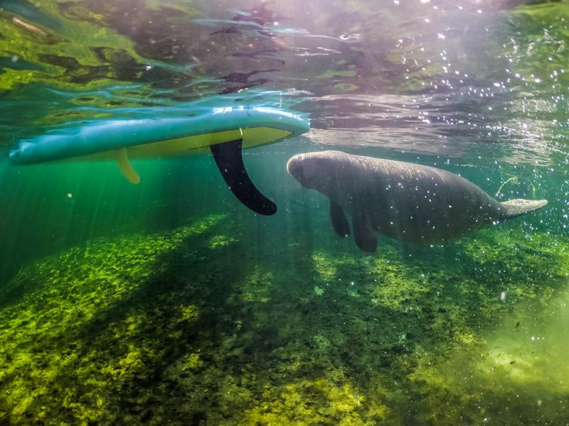 Blue Springs' curious manatee